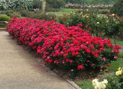 Hedge of Knock Out Roses